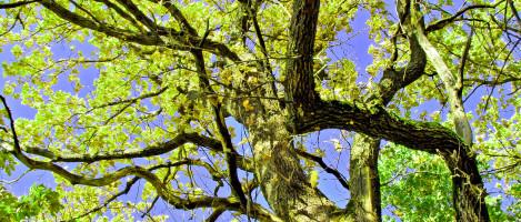 sheet of the old oak